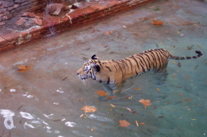 Swimming_tiger